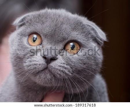 Beautiful Scottish young cat - stock photo