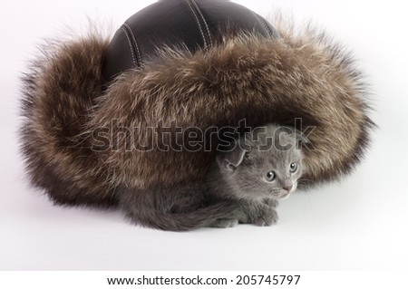 Beautiful Scottish young cat and fur hat