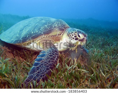 Beautiful sea turtle feeds on seagrass