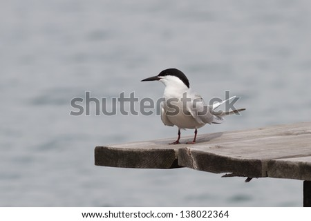 Beautiful seagull tern sitting on the dock