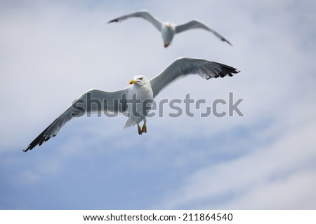 Beautiful seagulls soaring in the blue sky