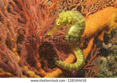Beautiful seahorse amongst weeds. - stock photo
