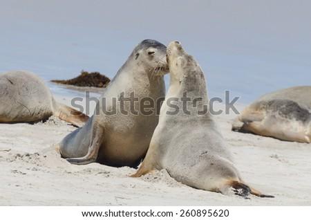 Beautiful Seal in a oceanic bay. Australia - stock photo