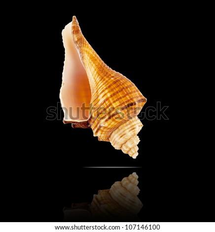 Beautiful seashell on a black background. - stock photo