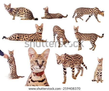 Beautiful serval, Leptailurus serval, isolated on the white background - stock photo