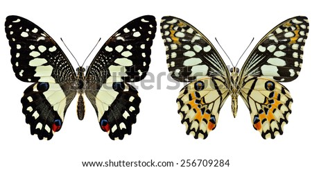 Beautiful set of Lime butterfly both upper and lower wing in natural color profile isolated on white background - stock photo
