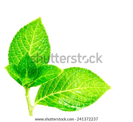 beautiful shape of wet green leaf  branch with droplet on white background