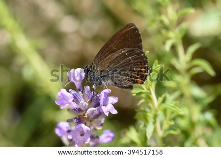 beautiful shot of satyrium hairstreak butterfly resting on purple lavender flower close-up blurred background   - stock photo