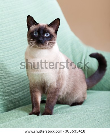 beautiful siamese cat on  couch at home. - stock photo