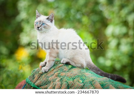 Beautiful siamese cat with blue eyes sitting outdoors - stock photo