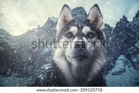 Beautiful siberian husky. Pedigree dog. Beautiful husky dog looking at the camera - stock photo