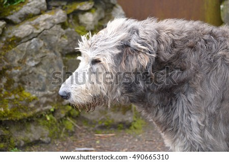 Beautiful side profile of an Irish Wolfhound dog outside a castle in Ireland.