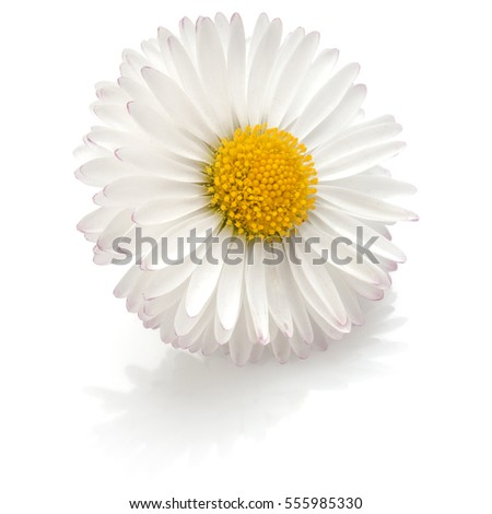 daisy flower stock images, royaltyfree images  vectors, Natural flower