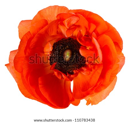 beautiful single flower head. red ranunculus isolated on white background - stock photo