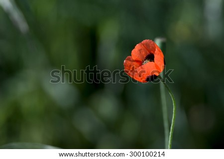 Beautiful single flower of poppy blossoming on meadow - stock photo