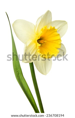 Beautiful single narcissus flower isolated on a white background.
