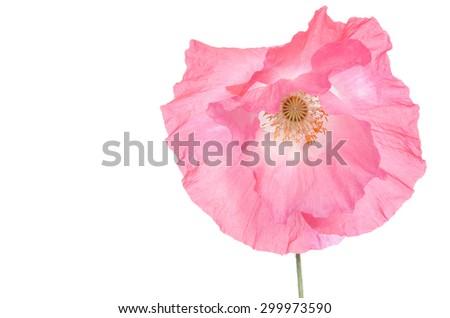 beautiful single pink poppy isolated on white - stock photo