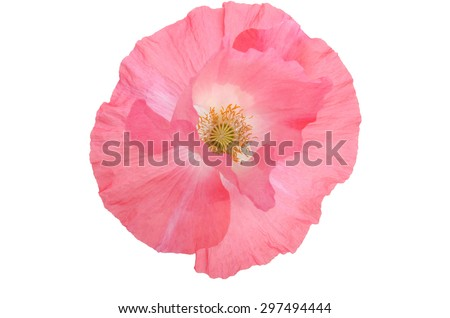beautiful single pink poppy isolated on white.top view - stock photo