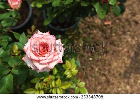Beautiful single pink rose - stock photo