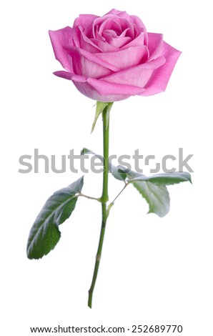 beautiful single pink rose on a white background. vertical position - stock photo