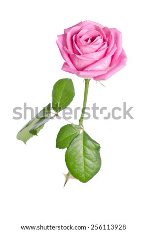 beautiful single pink rose on a white background. vertical position