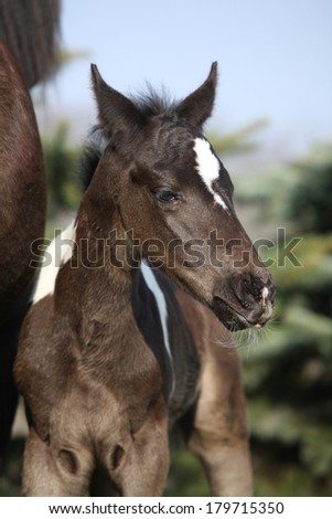 Beautiful skewbald foal exploring the world in spring