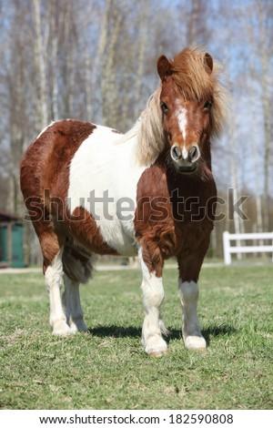 Beautiful skewbald Shetland pony standing alone in outdoor - stock photo