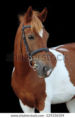 Beautiful skewbald welsh pony portrait on black background - stock photo