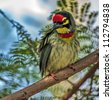 Beautiful small Bird Coppersmith Barbet perched on a tree branch, Closeup - stock photo