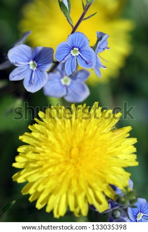 beautiful small blue flowers bloom in spring - stock photo