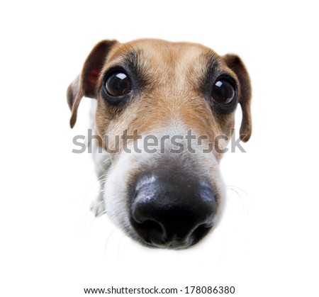 Beautiful small dog sniffing curiously looks straight into the camera with a big nose. White background. Studio shot