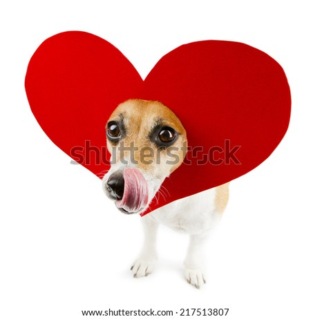 Beautiful small dog with a heart shape on her head licking.