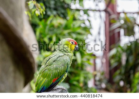 Beautiful Small Green Red Crowned Amazon Parrot sitting on Wooden Branch in Natural Habitat, Hong Kong, Close-up - stock photo