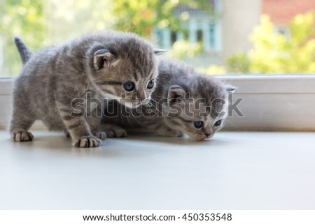 Beautiful small striped kittens on the window sill. Scottish Fold breed. - stock photo
