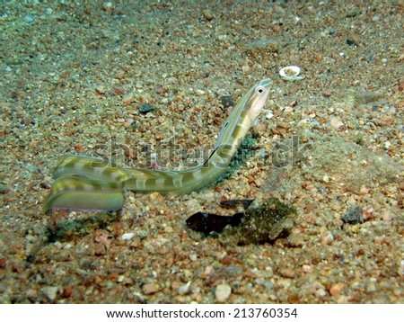 Beautiful snake blenny out in the open sand - stock photo