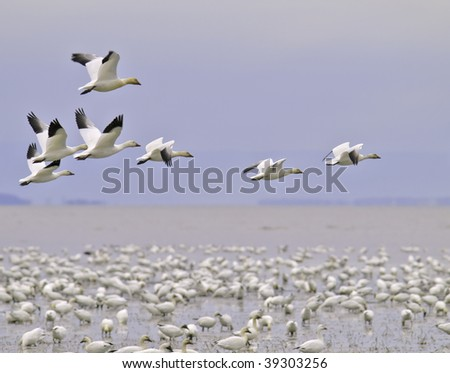 beautiful snow goose group in flight photographed during the morning sunrise color. Cap tourmente Quebec during their migration to east coast. - stock photo