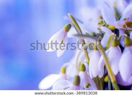 Beautiful snowdrop flower. Macro. Background - stock photo