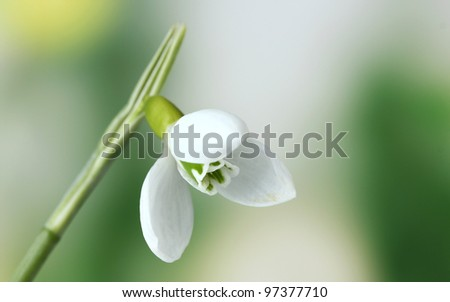 beautiful snowdrop flower on green background - stock photo