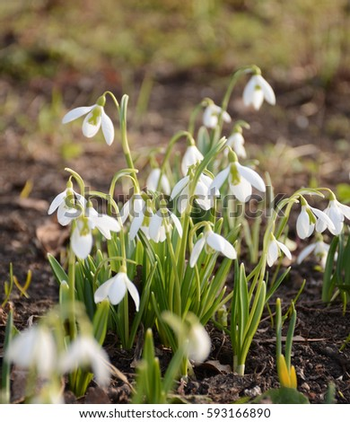 Beautiful snowdrops blooming in the spring sunshine background