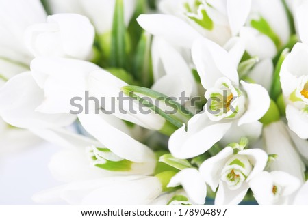 Beautiful snowdrops, close-up