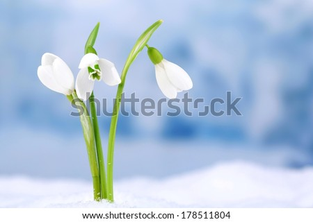 Beautiful snowdrops on snow, on nature winter background - stock photo