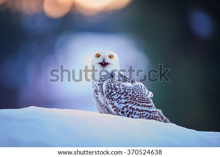 Beautiful Snowy owl Bubo scandiacus, famous white owl with black spots and bright yellow eyes, sitting on snow in very colorful morning light. Opened beak,staring directly at camera.Nice bokeh effect. - stock photo