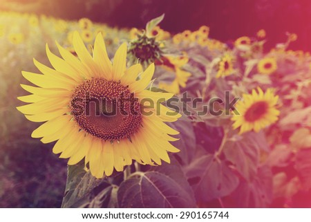 Beautiful soft color Sunflower backgrounds nature - stock photo