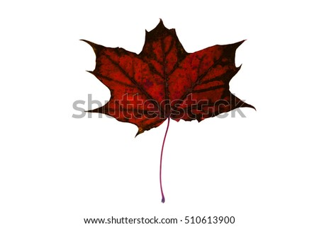 Beautiful, soft, colorful and old autumn maple leaf on the white background.