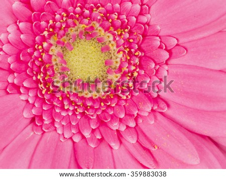 beautiful soft pink gerbera flower with fluffy petals and yellow center - stock photo
