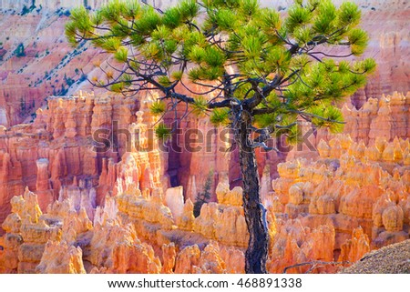 Beautiful solitary coniferous tree growing on the edge of Sunset Point in the Bryce Canyon National park, Utah, USA.