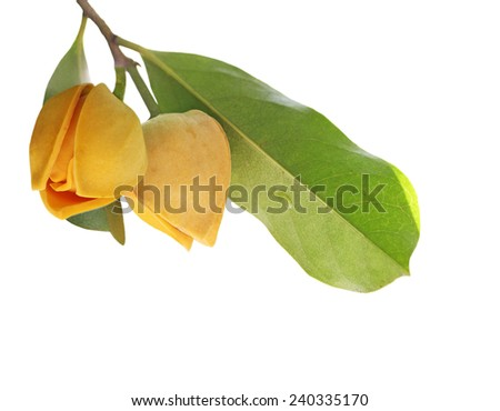 Beautiful soursop  flower bud isolated on white background - stock photo