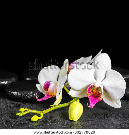 beautiful spa background of blooming white and red orchid flower, phalaenopsis with dew on black zen stones, close up - stock photo
