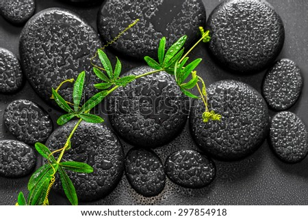 beautiful spa background of green twig passionflower with tendril on zen basalt stones with dew - stock photo