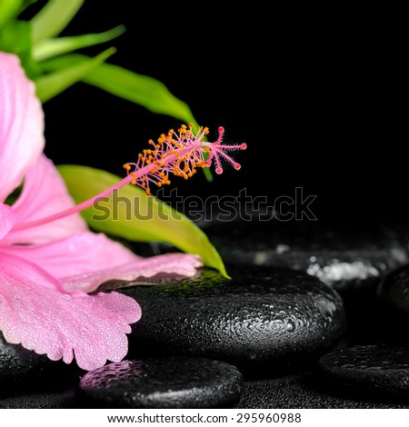 beautiful spa composition of pink hibiscus flower and twig bamboo on zen basalt stones with drops, closeup - stock photo